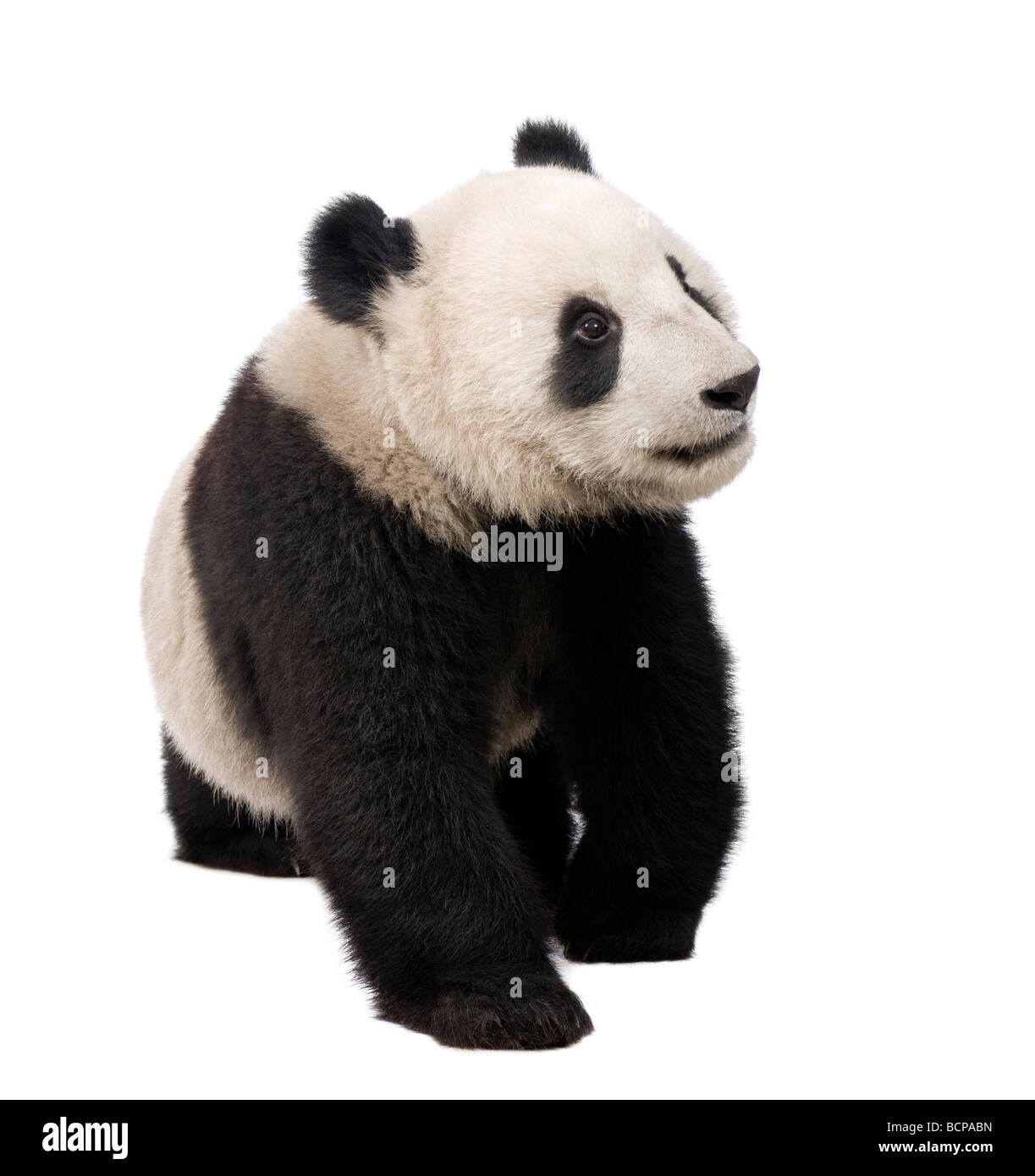 Giant Panda, 18 months, Ailuropoda melanoleuca in front of a white background, studio shot Stock Photo