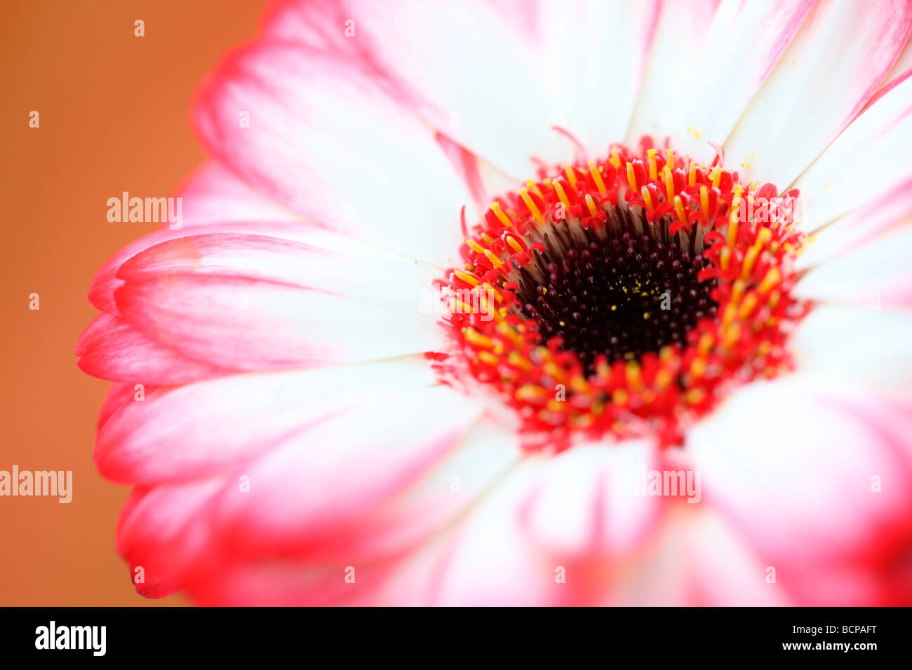 fresh and pure contemporary image of a red tipped gerbera fine art photography Jane Ann Butler Photography JABP368 - Stock Image