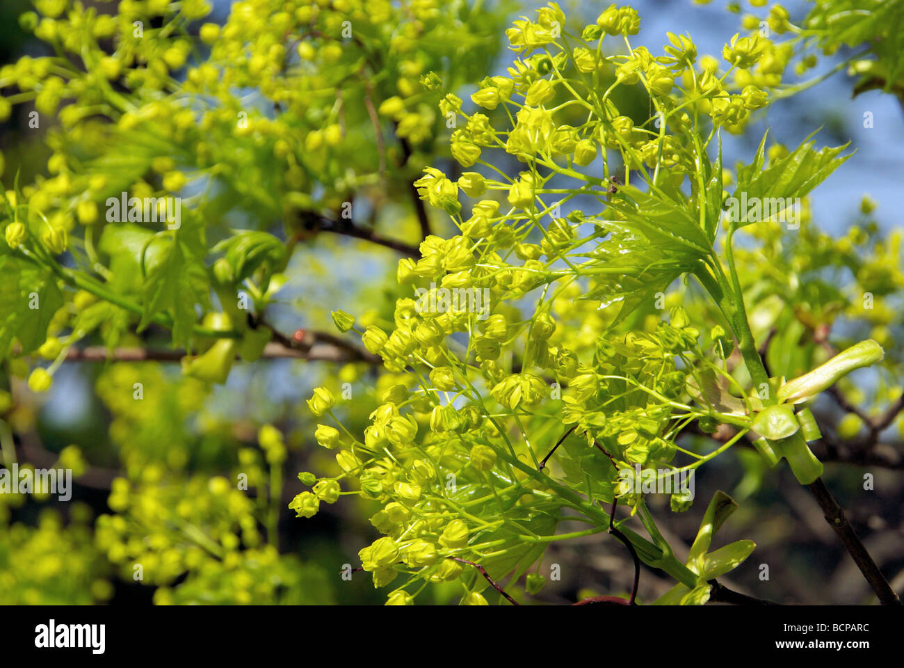 Ahornblüte flowering of maple tree 03 Stock Photo