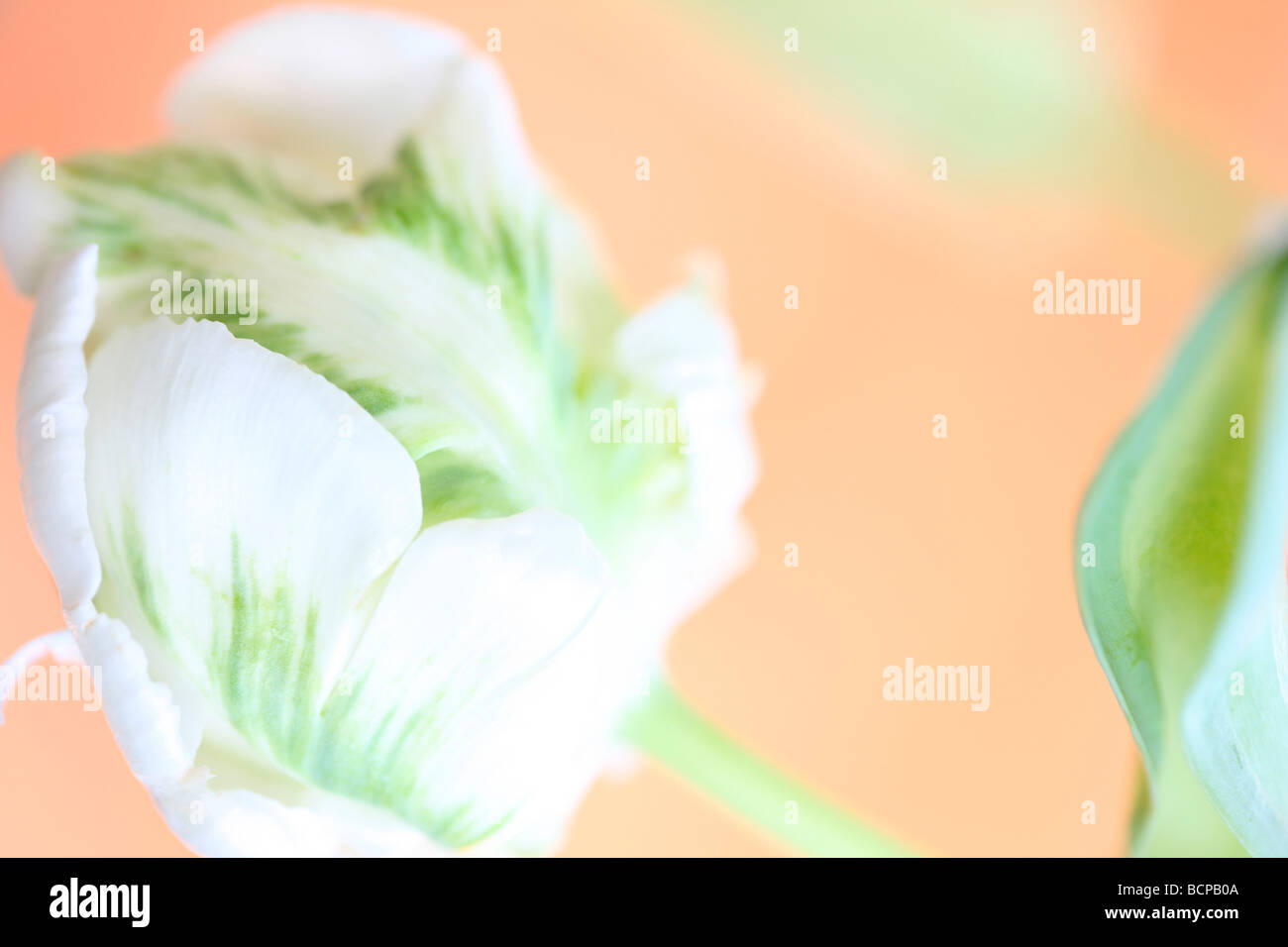 beautiful white tulip with a splash of green very elegant fine art photography Jane Ann Butler Photography JABP365 - Stock Image