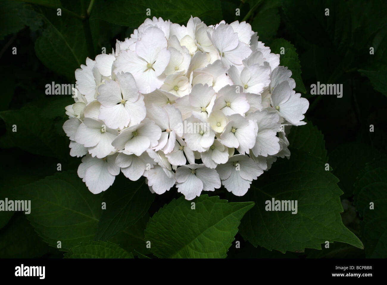 White Hydrangea Flower Taken In Croxteth Hall Walled Garden Stock