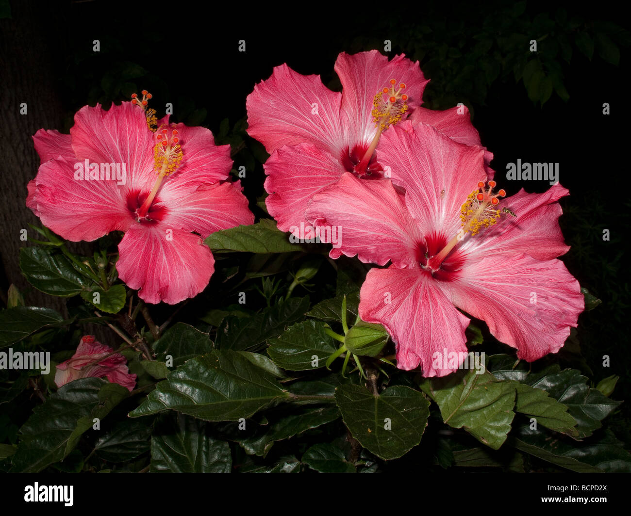 Hot Pink Tropical Hibiscus Flower Stock Photos Hot Pink Tropical