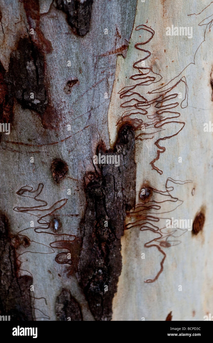 Pattern on the bark of Scribbly Gum or Eucalyptus Signata NSW Australia Stock Photo