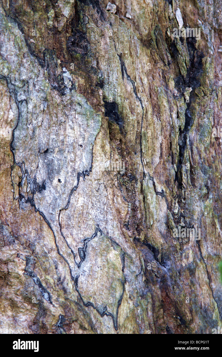macro image from the curst of a dead tree - Stock Image