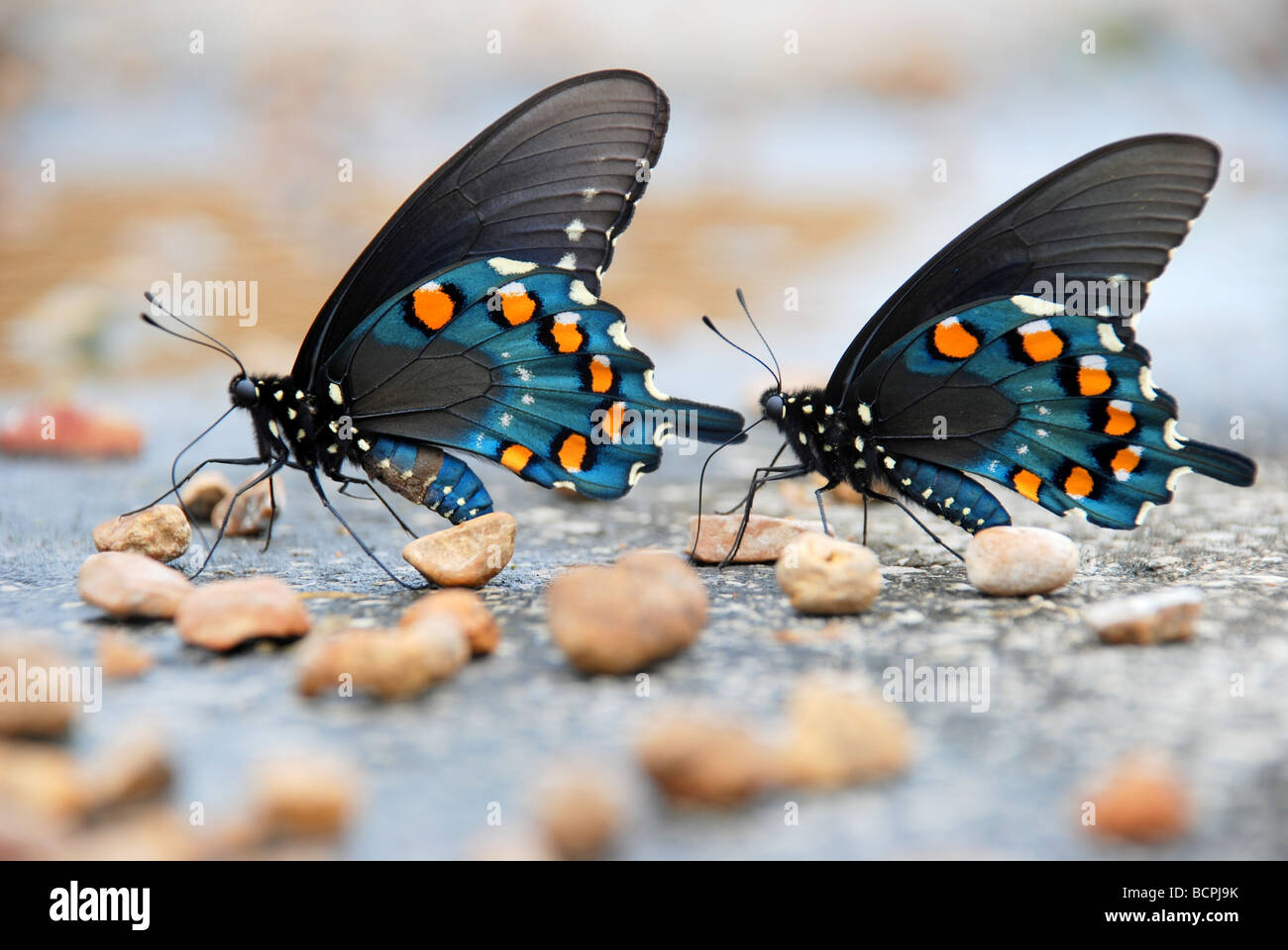 Two Pipevine Swallowtail Butterflies - Stock Image