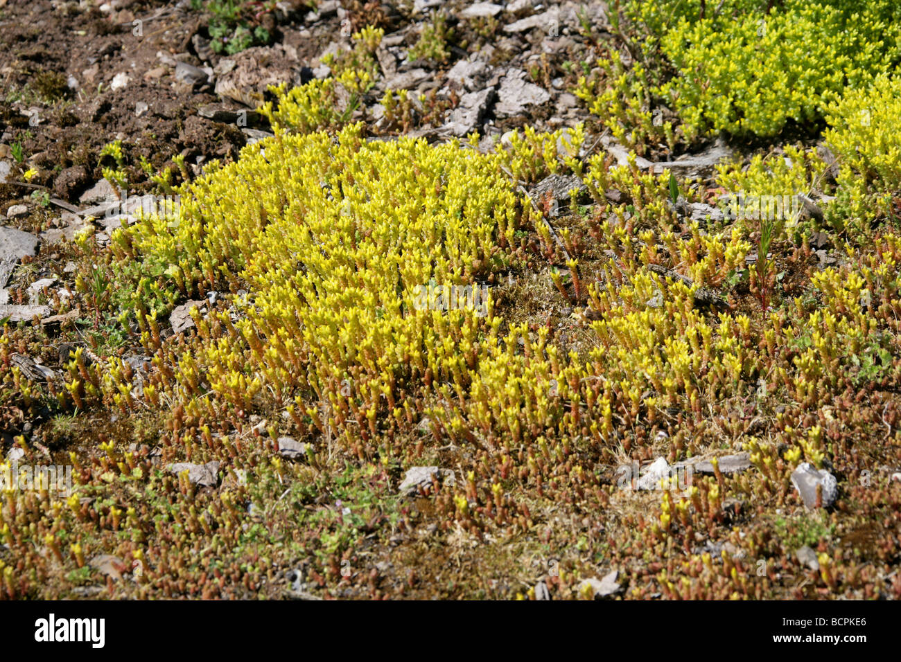 Biting Stonecrop aka Golden Carpet, Wall Pepper or Gold Moss, Sedum acre, Crassulaceae, Growing on Waste Ground - Stock Image