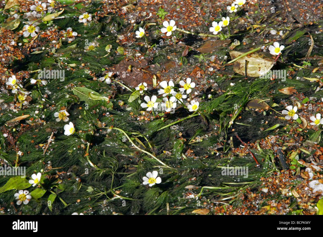 Chalk-stream Water Crowfoot, Ranunculus penicillatus, Ranunculaceae - Stock Image