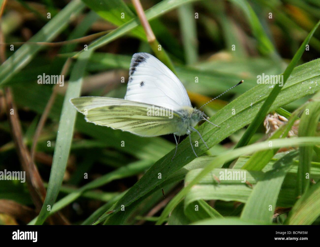 Green-veined White Butterfly, Pieris napi, Pieridae, UK - Stock Image