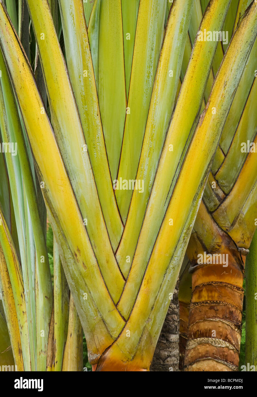 Travelers Palm tree in the central plaza of Cosalá in Sinaloa Mexico - Stock Image