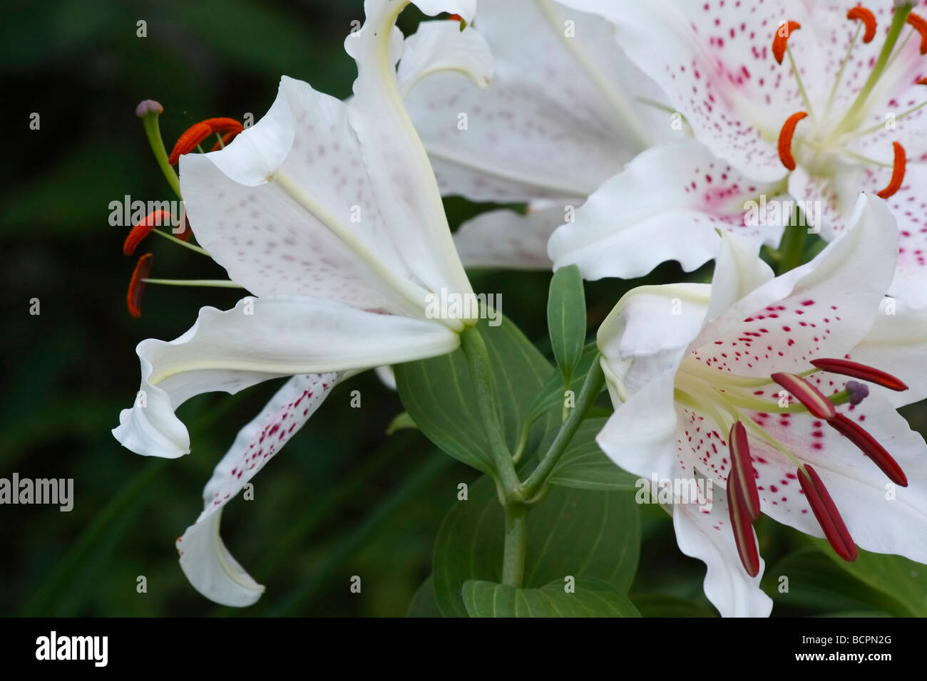 White Lilium Star Gazer Flowers On Natural Background Cut Out Cutout