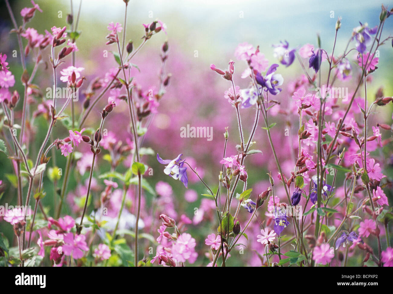 Long stem flowers stock photos long stem flowers stock images alamy lychnis flos jovis campion abundant small pink flowers on long stems mightylinksfo