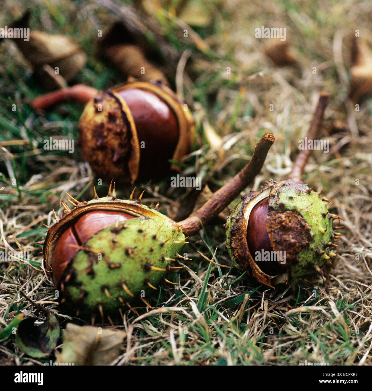 Aesculus hippocastanum Horse chestnut fruit or conkers on the ground emerging from prickly shells. - Stock Image