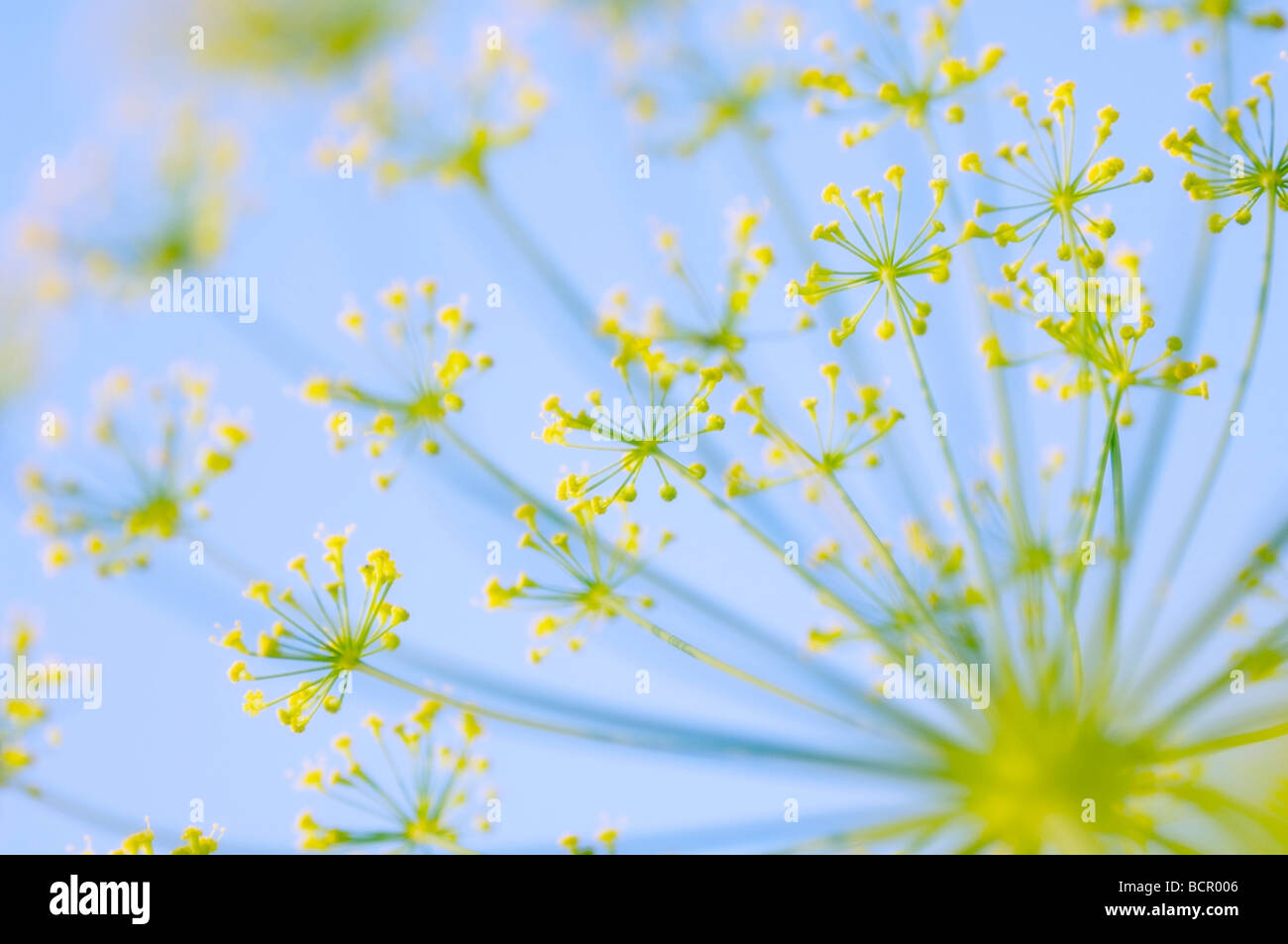 Anethum graveolens, Dill, Umbel shaped flower head with small yellow flowers on radiating stems against a blue sky. - Stock Image