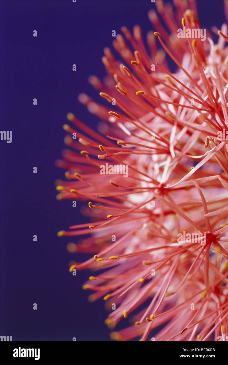 Scadoxus multiflorus, Blood lily - Stock Image