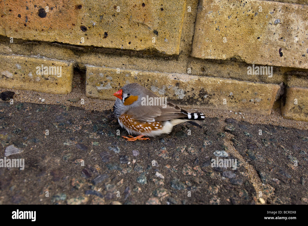 An Australian Zebra Finch living wild in the UK. It must have escaped from an aviary or cage. - Stock Image