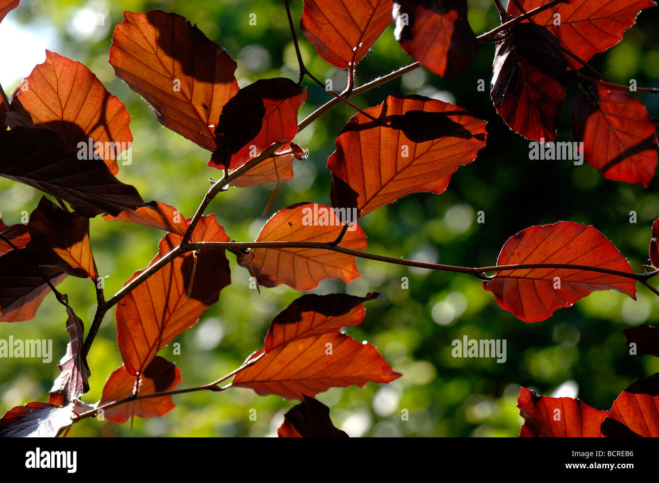 Young backlit leaves of a copper beech tree - Stock Image