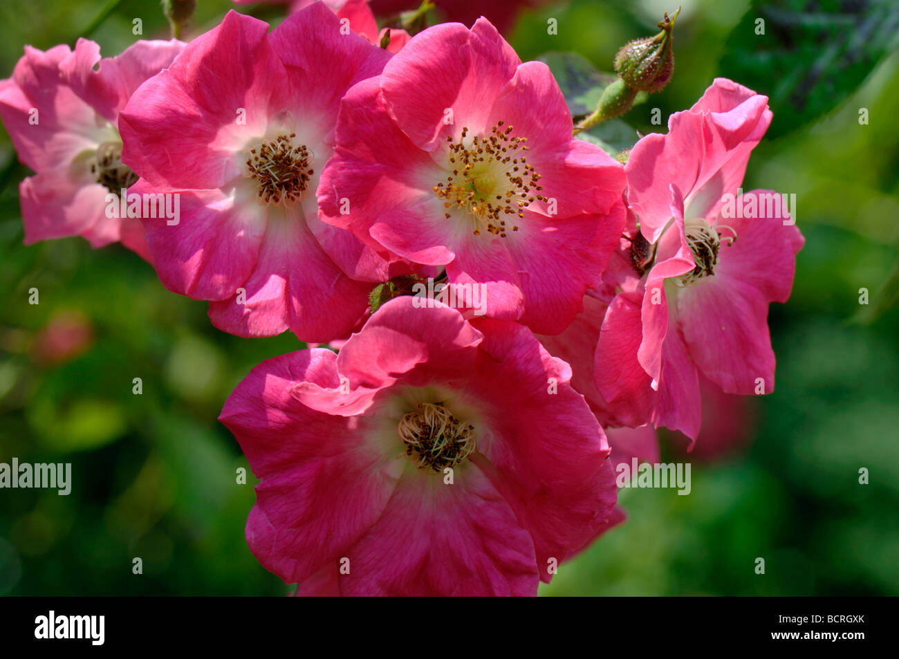 Rosa America Pillar deep pink flowers on a rambling climbing rose - Stock Image