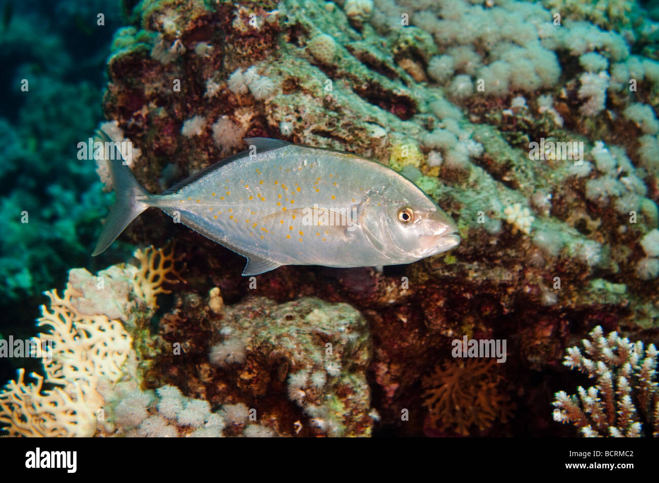Photographic study of a Blacktip Trevally near Ras Mohammed, Red Sea Egypt. - Stock Image