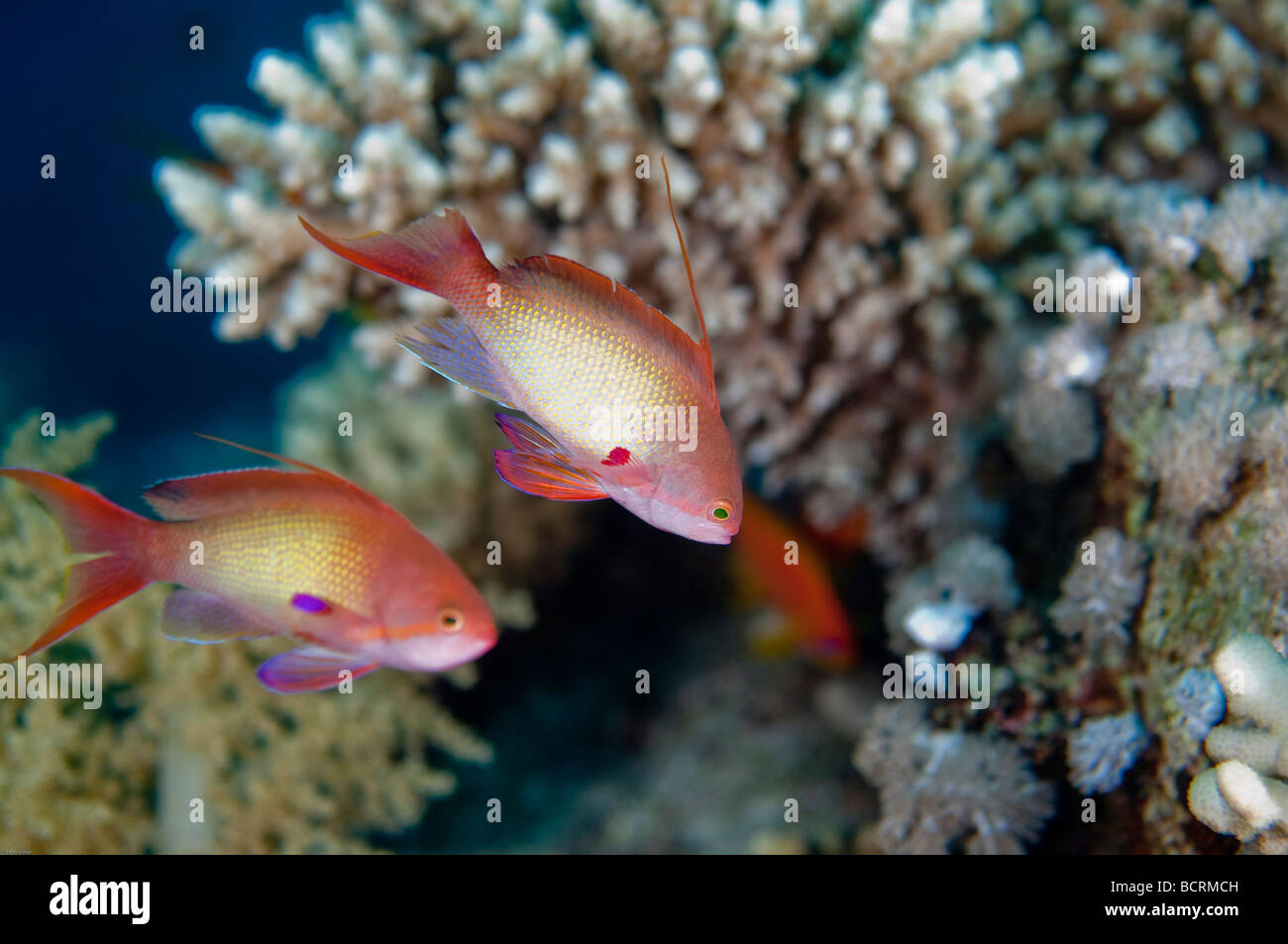 Two male Athias fish briefly hover over a coral reef. - Stock Image