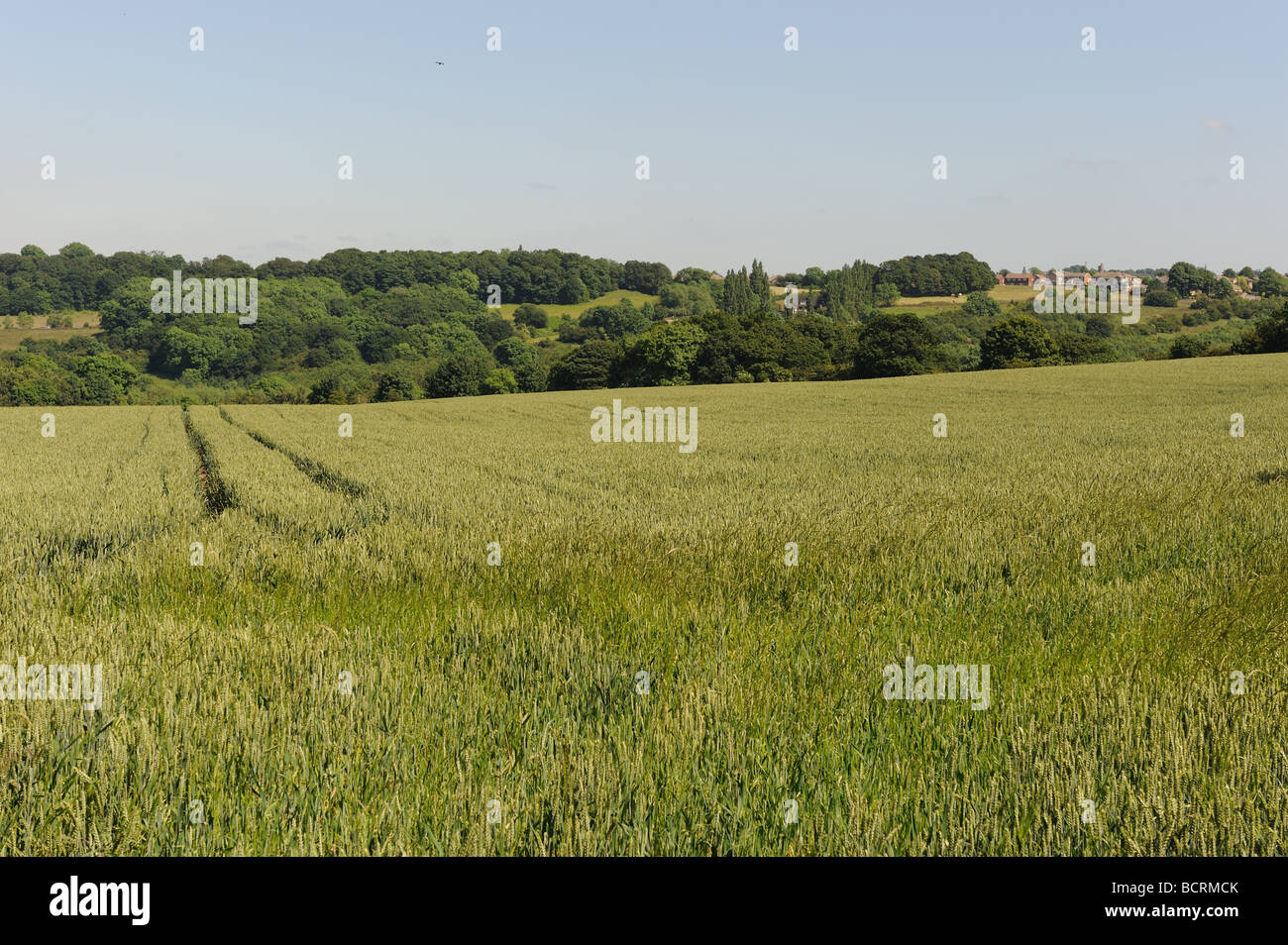 In glorious June sunshine a wheatfield slowly matures - Stock Image