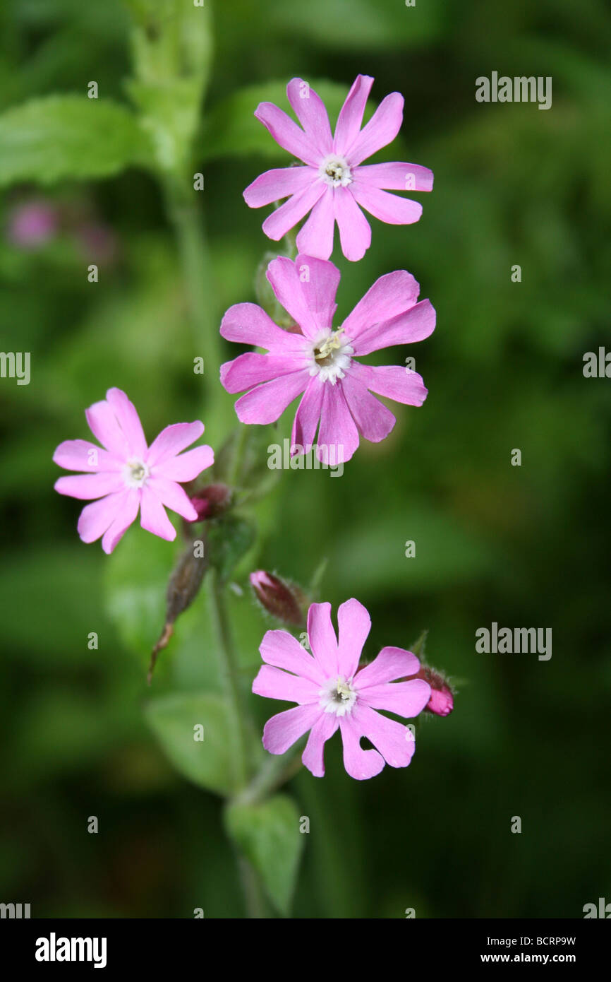 Red Campion Silene dioica Taken In St James' Gardens Cemetery, Liverpool, Merseyside, UK Stock Photo