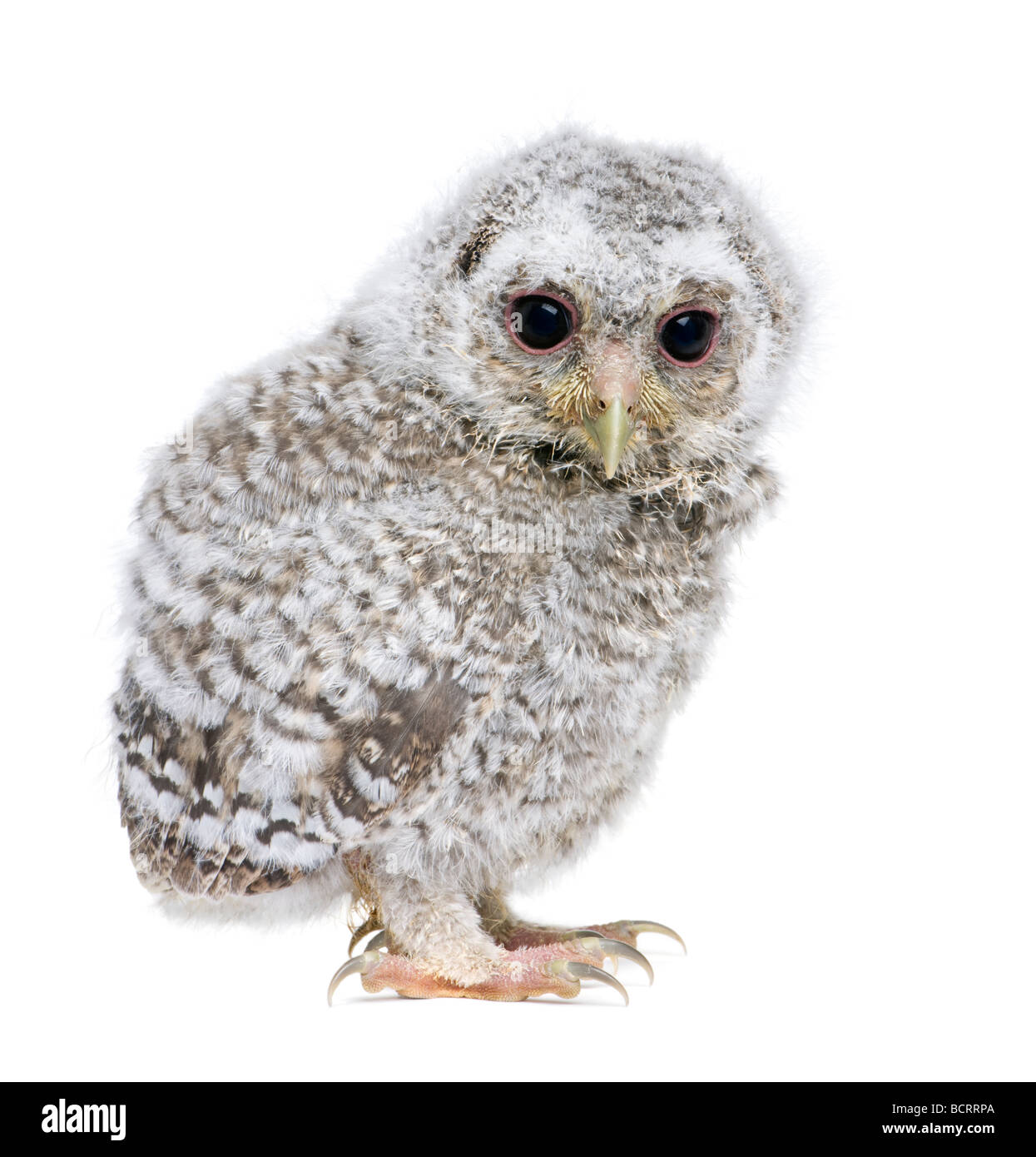 Owlet, Athene noctua, 4 weeks old, in front of a white background, studio shot - Stock Image