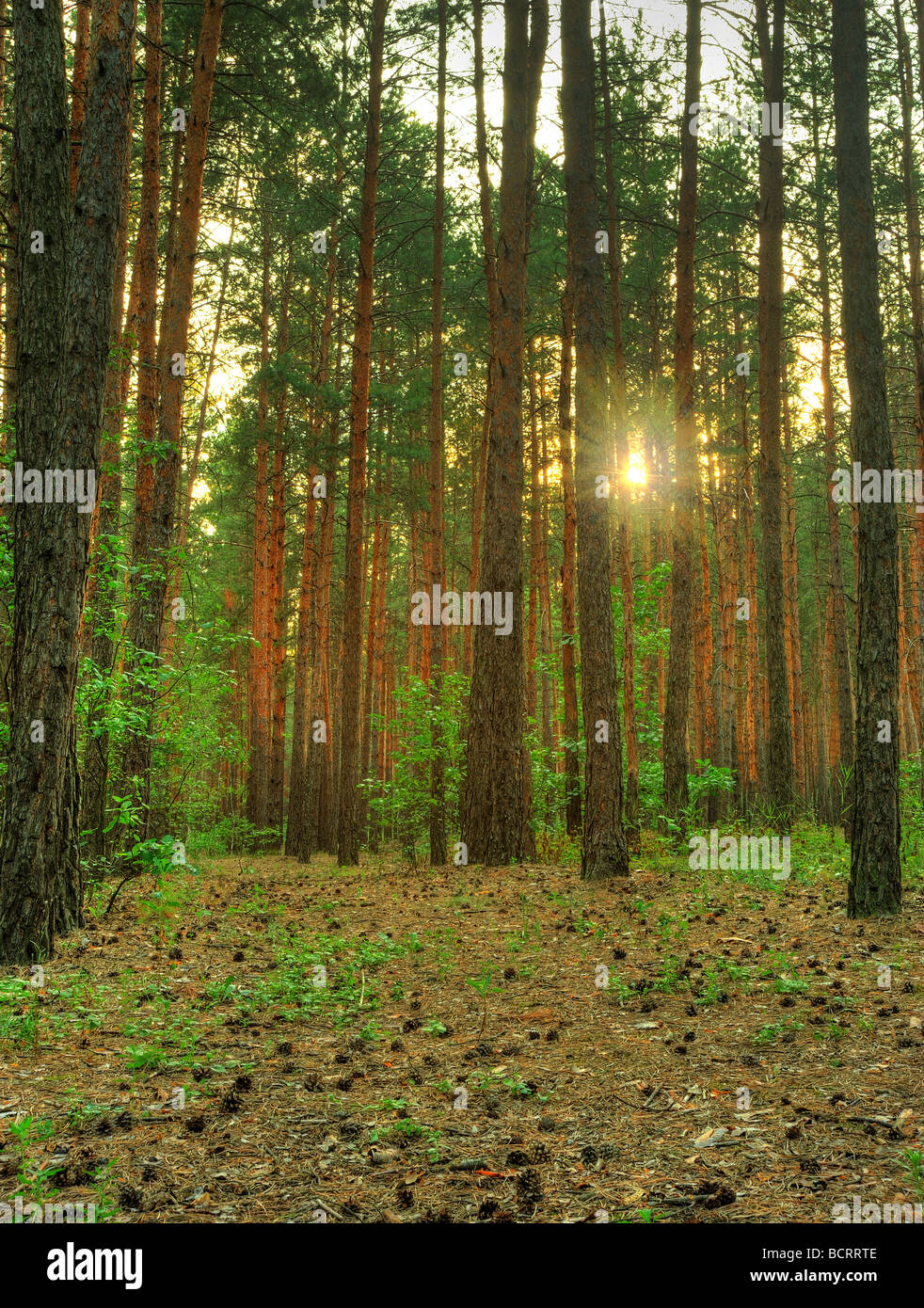 Forest A coniferous forest in the East Europe Ukraine - Stock Image