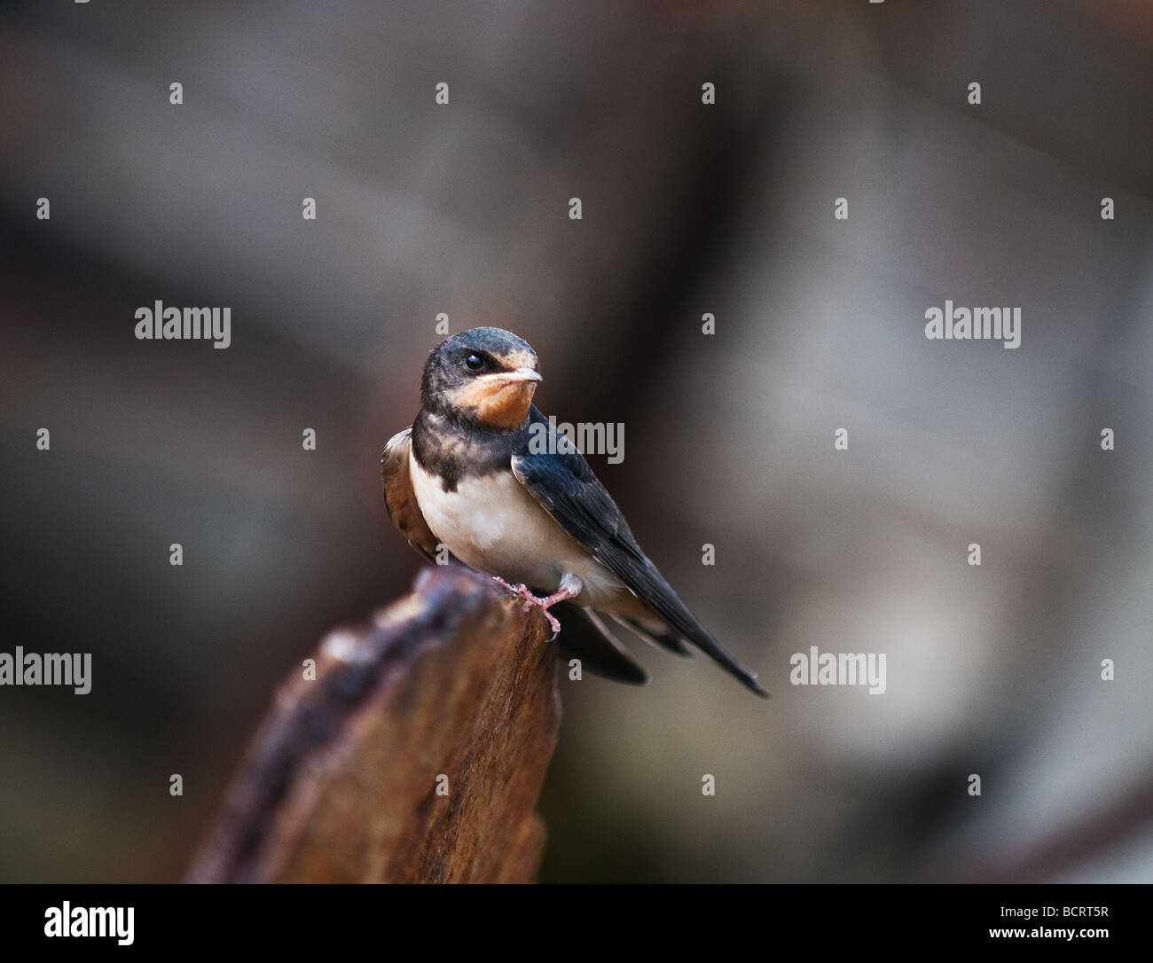 A House Martin perched on an old plank of wood.  Photo by Gordon Scammell - Stock Image