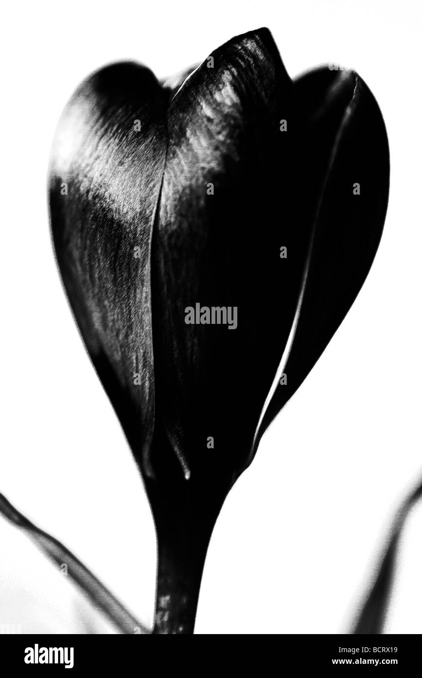 contemporary image of the classic crocus in black and white fine art photography Jane Ann Butler Photography JABP345 - Stock Image