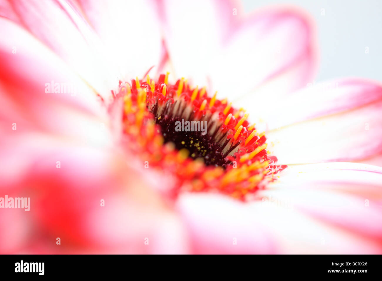 fresh and pure contemporary image of a red tipped gerbera fine art photography Jane Ann Butler Photography JABP357 - Stock Image