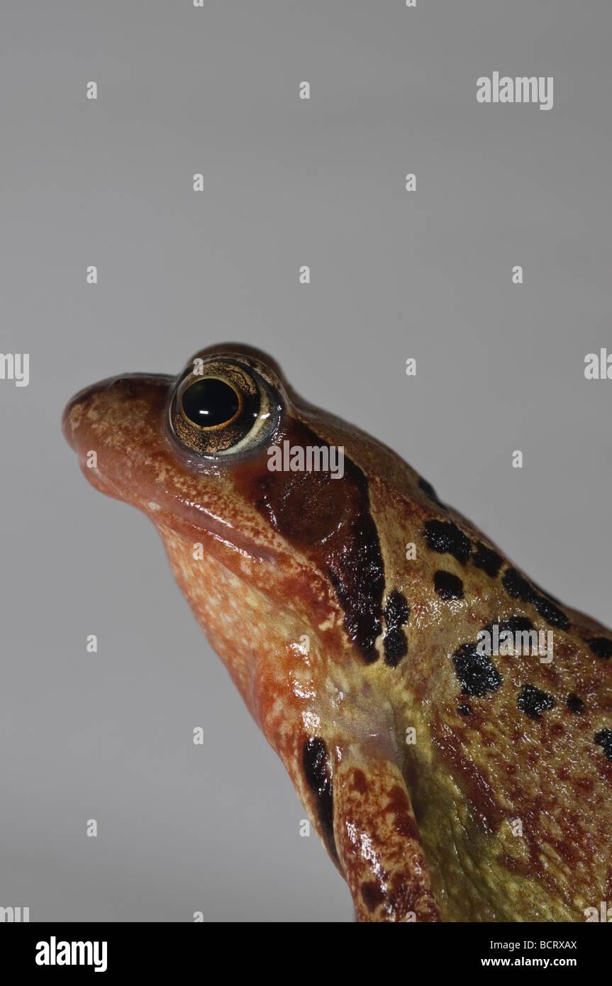 Common Frog Rana temporaria taken in studio. - Stock Image