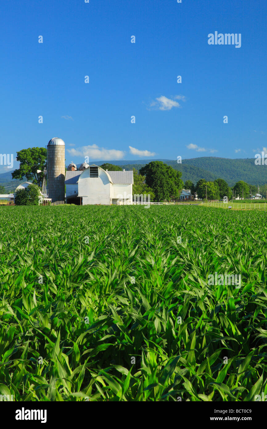 Young corn on farm near Dayton in the Shenandoah Valley Virginia - Stock Image