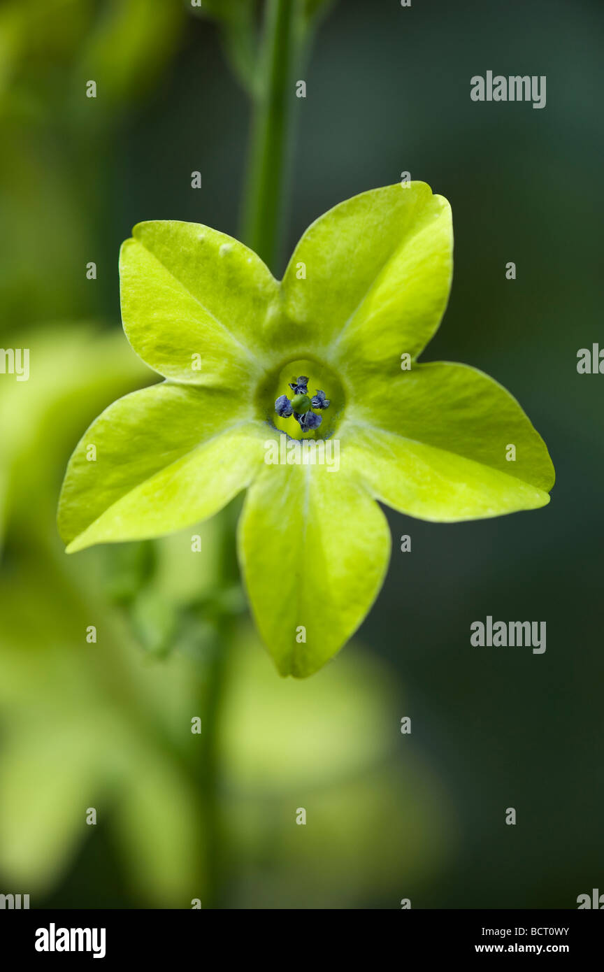 Nicotiana 'Lime Green' flower, Tobacco plant 'Lime Green'. Nicotiana alata 'Lime Green' - Stock Image
