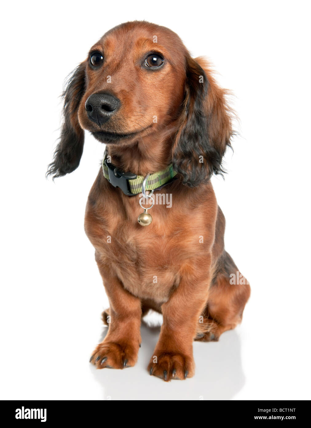 Dachshund dog, 7 years old, in front of a white background, studio shot - Stock Image