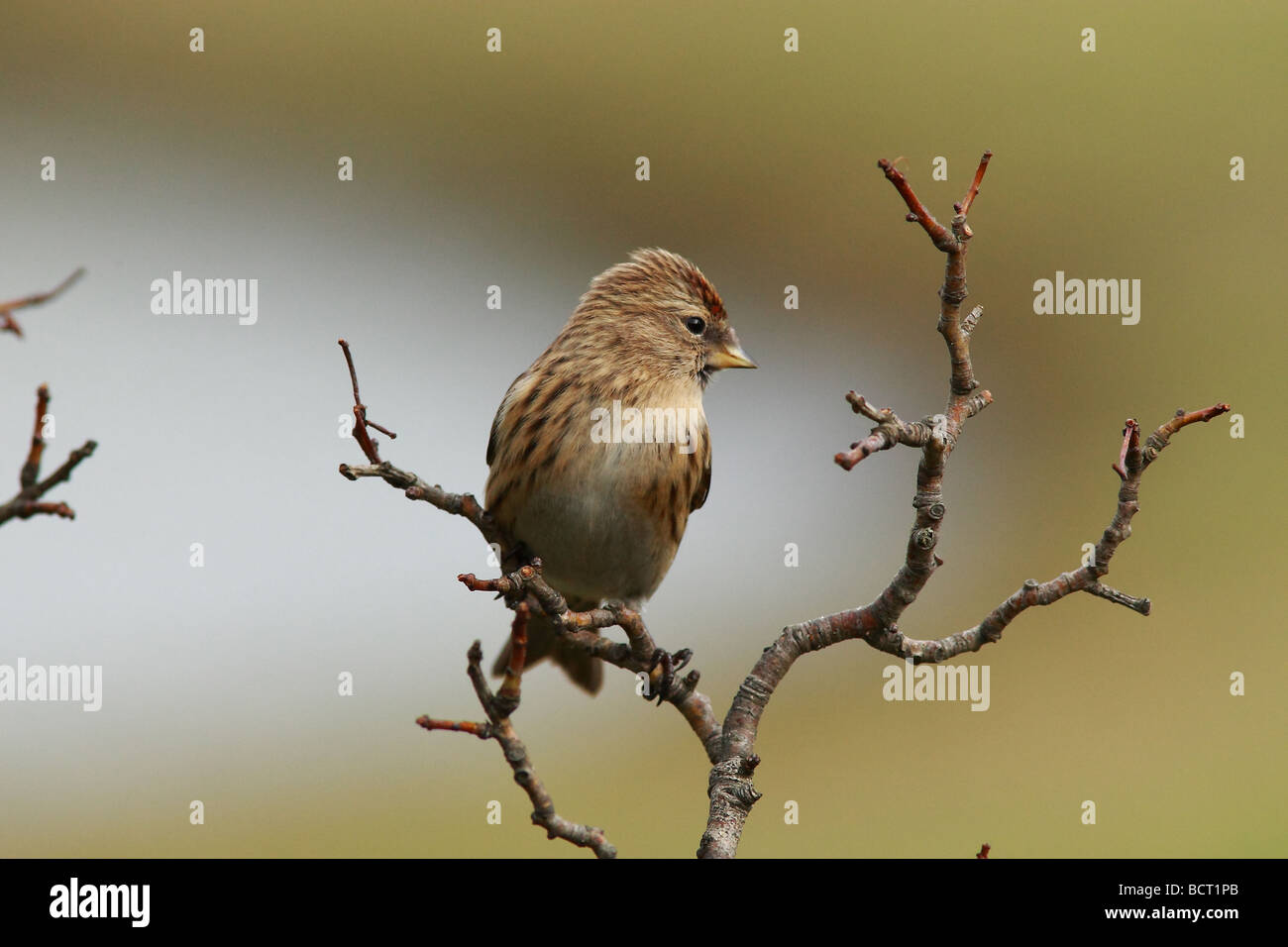 The Redpolls are a group of small passerine birds in the finch family Fringillidae Carduelis flammea Stock Photo