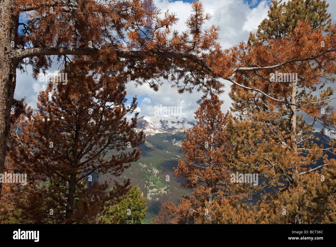 Trees killed by pine beetles in Rocky Mountain National Park - Stock Image