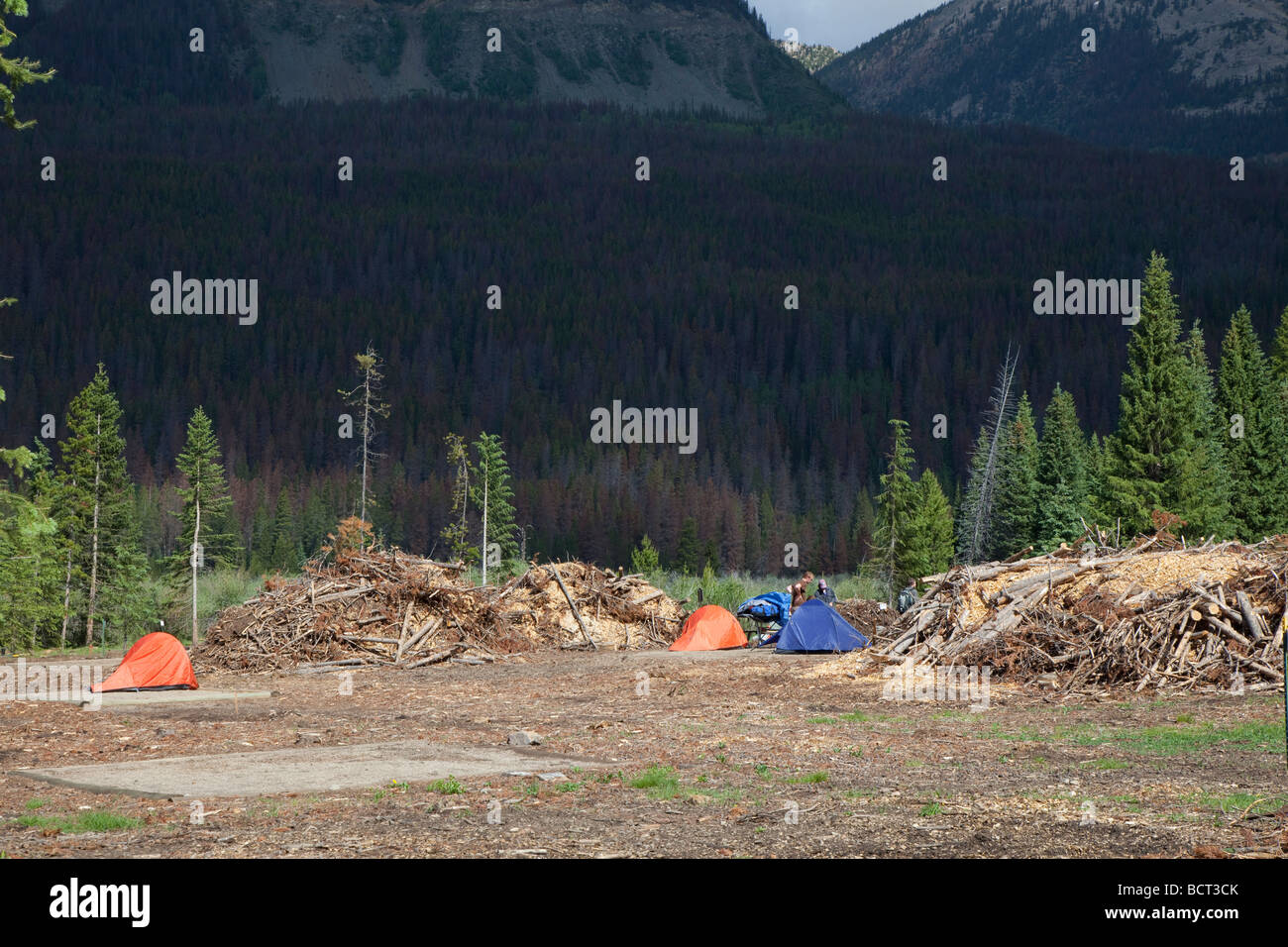 Pine trees in national park campground cut down after being killed by pine beetle outbreak - Stock Image