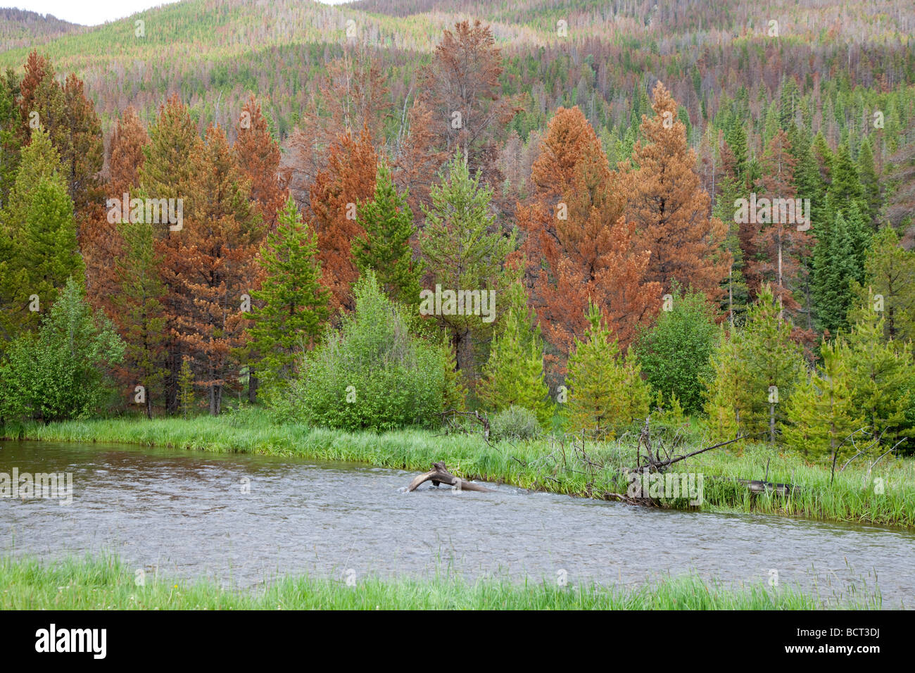 Pine trees killed by mountain pine beetle - Stock Image