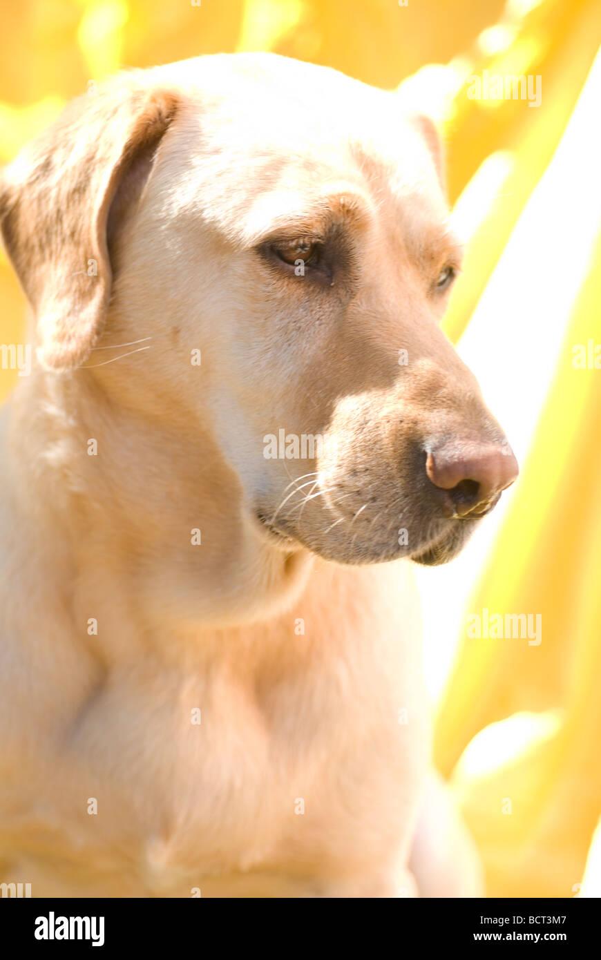 dog  Labrador on yellow background - Stock Image