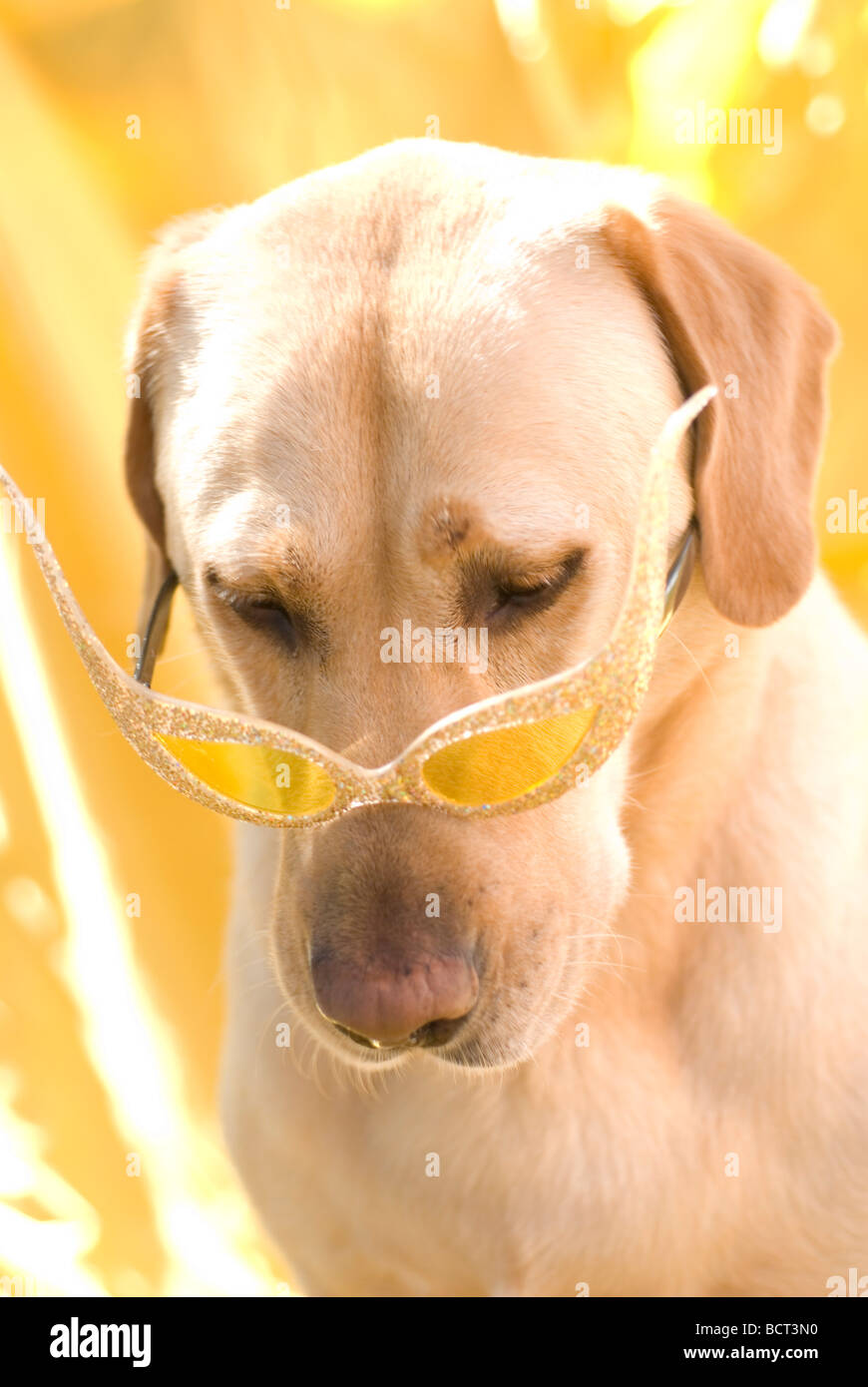 funny dog with fancy glasses. Labrador - Stock Image