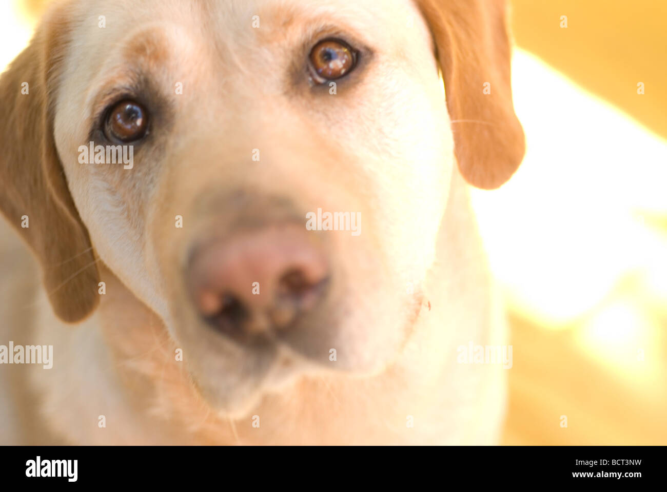 dog- labrador - Stock Image