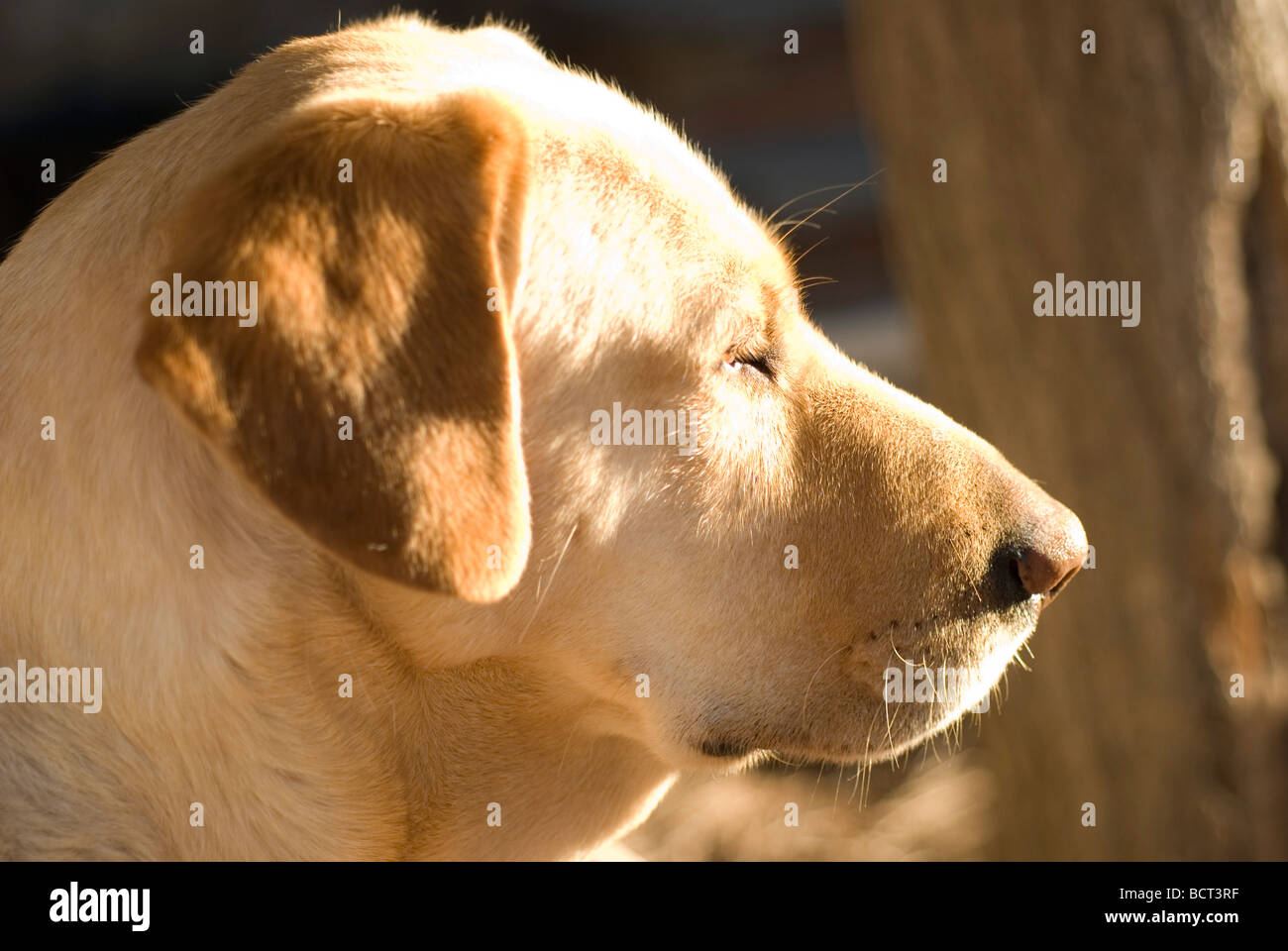 dog sleeping - labrador - Stock Image