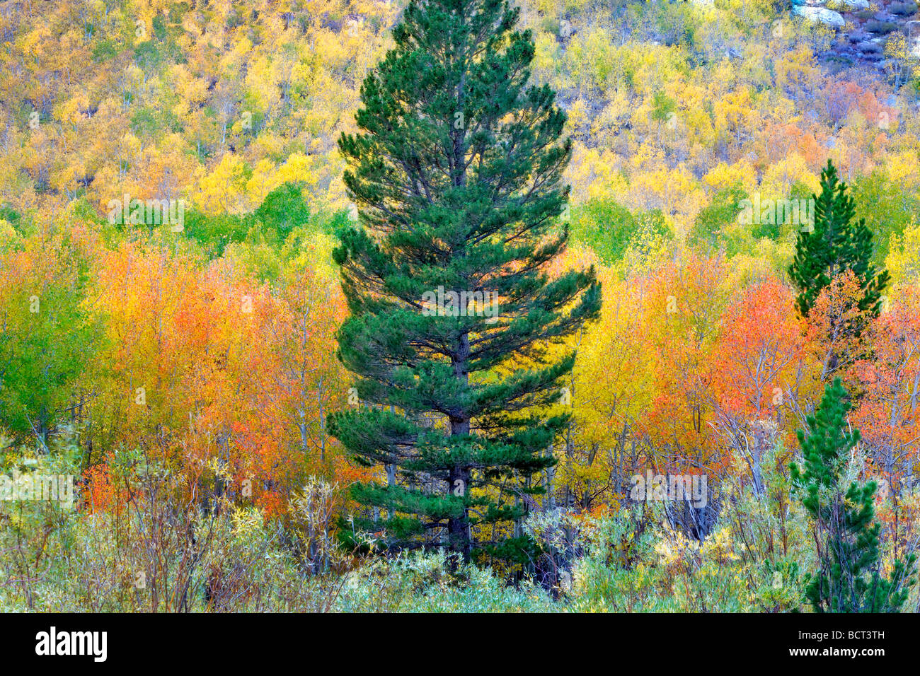 Mixed forest of aspens in fall colors and fir trees Inyo National Forest California - Stock Image
