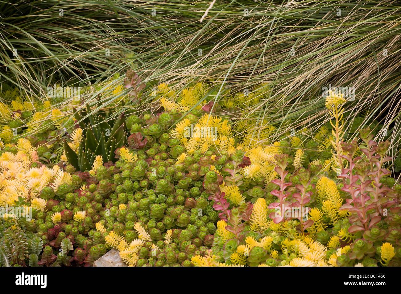 Drought tolerant succulent groundcover foliage tapestry with sedum drought tolerant succulent groundcover foliage tapestry with sedum spurium and yellow foliage s angelina in california garden mightylinksfo