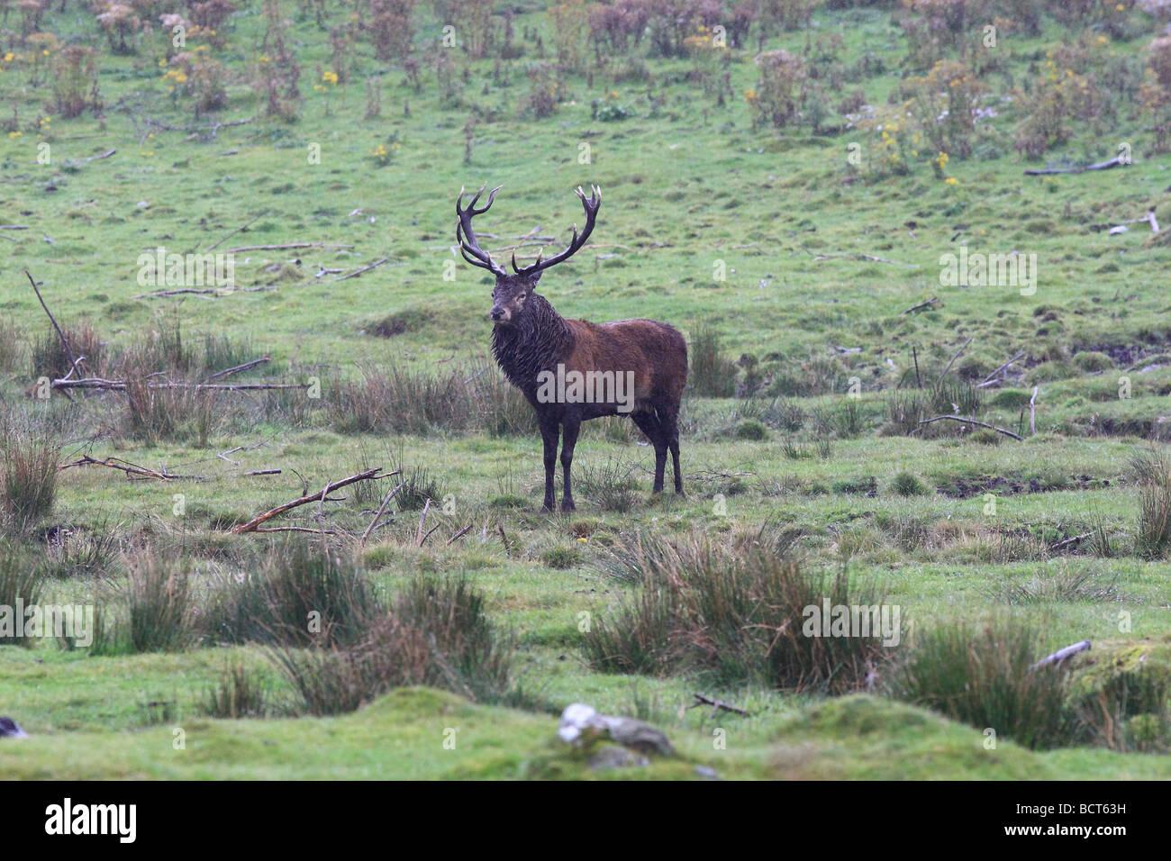 The Red Deer (Cervus elaphus) is one of the largest deer species. The Red Deer inhabits most of Europe - standing Stock Photo