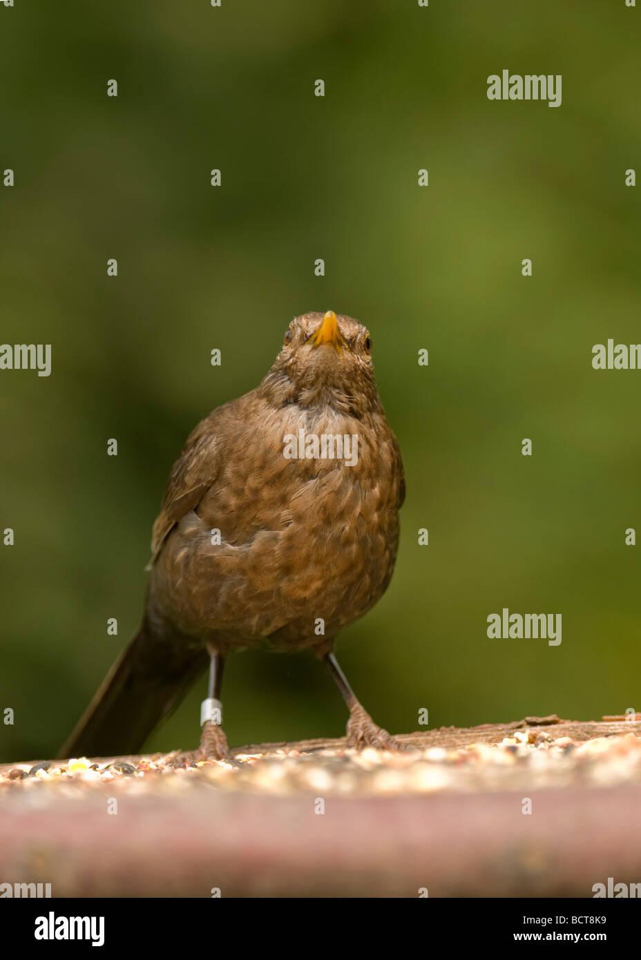 """Young Blackbird  """"Turdus marula"""" on feed table. - Stock Image"""