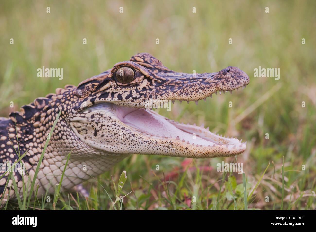 American Alligator Alligator mississipiensis Sinton Corpus Christi Coastal Bend Texas USA - Stock Image