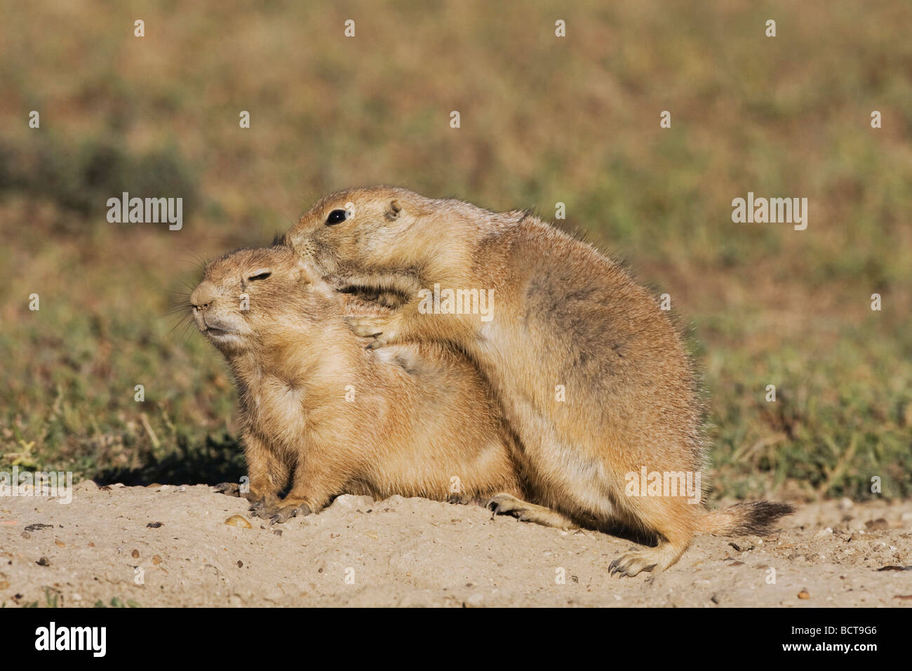 Black tailed Prairie Dog Cynomys ludovicianus young at den playing Theodore Roosevelt National Park Badlands North - Stock Image