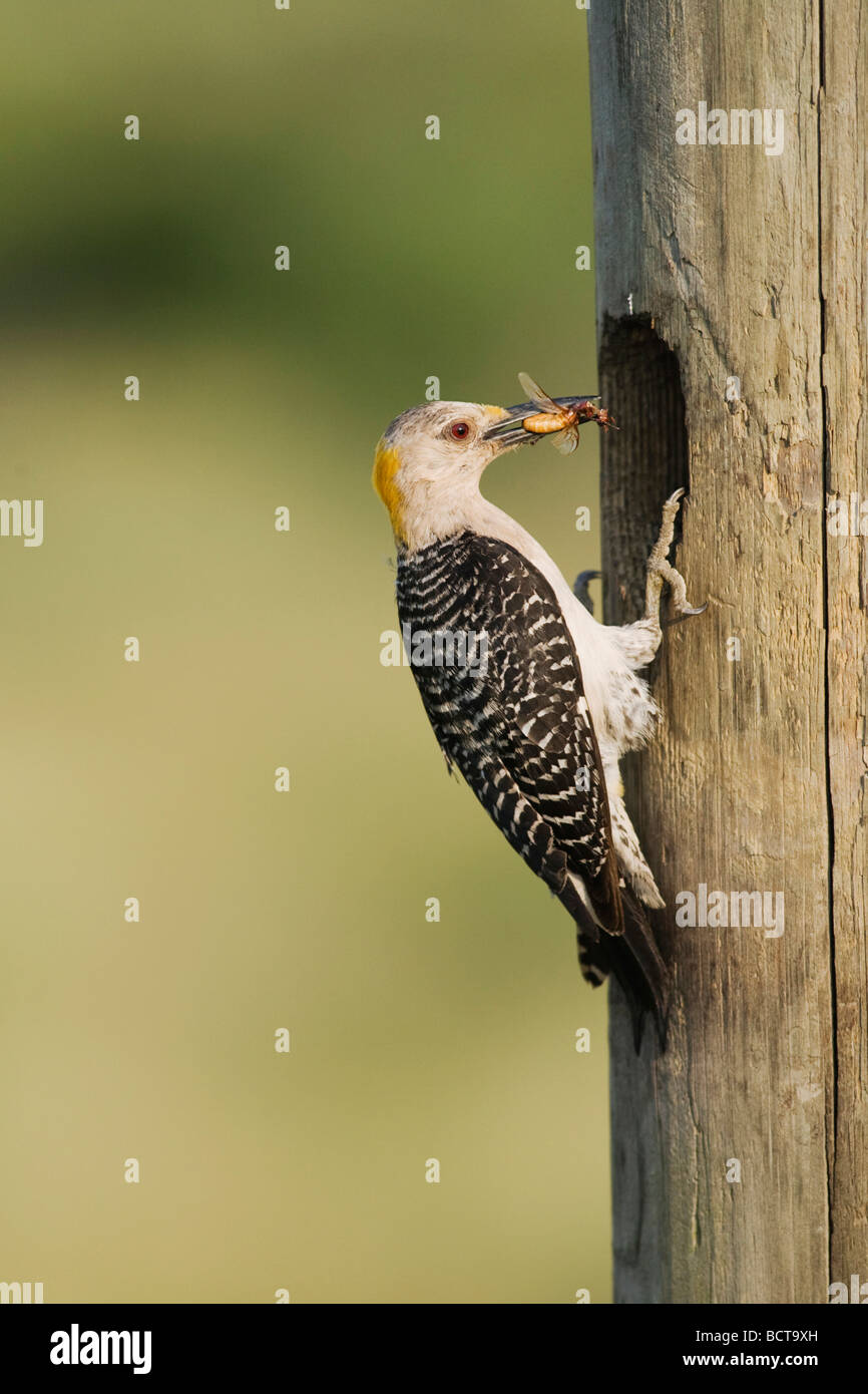 Golden fronted Woodpecker Melanerpes aurifrons female at nesting cavity with insect prey  Corpus Christi Coastal Bend Texas Stock Photo