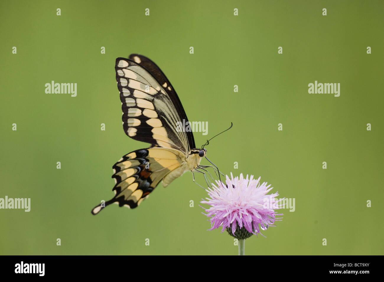 Giant Swallowtail Papilio cresphontes adult feeding on texas thistle Sinton Corpus Christi Coastal Bend Texas USA Stock Photo